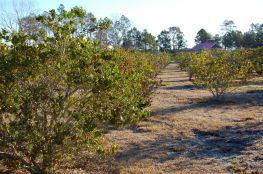 Unknown shrubs at the Newell Lodge, Folkston, Georgia