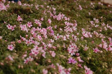 Phlox beginning to bloom