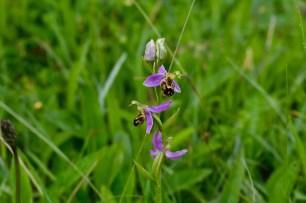 Bee Orchid growing wild in The Burren National Park