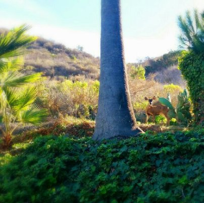 deer hill Ventura, venado cerro