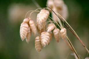 gold seeds, Cambria California