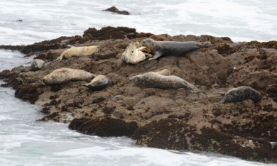 seals lounging on rock, Cambria California