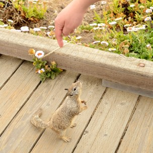 finger luring squirrel to stand on hind legs, boardwalk, Cambria California