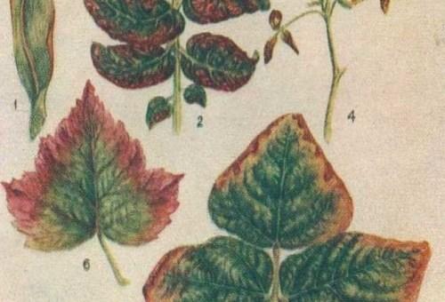 недостаток калия у растений