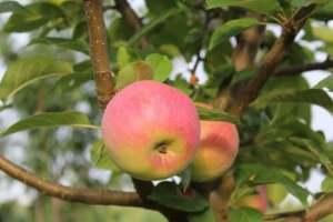 Особенности выращивания груш и яблонь