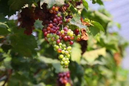 Подкормка винограда осенью органикой