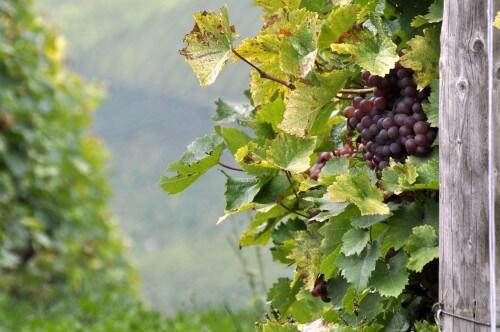 Минеральные удобрения для винограда