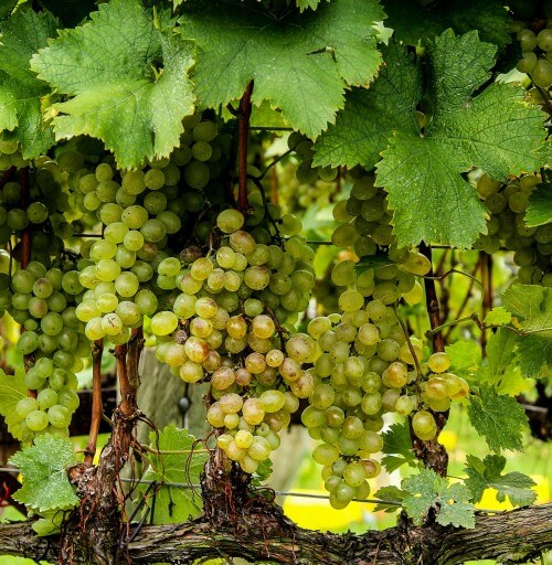 Удобрения для винограда, увеличивающие урожайность