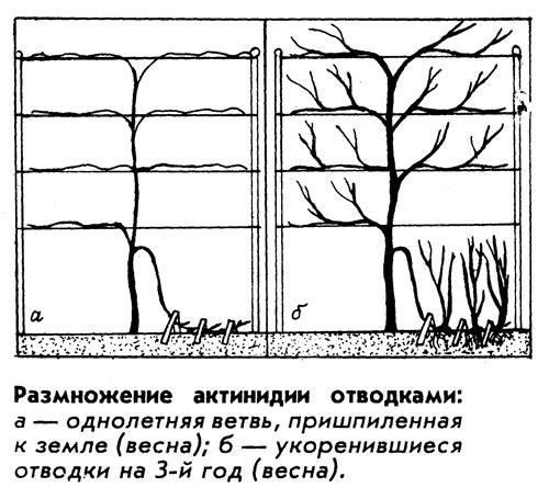 Размножение киви в открытом грунте отводками