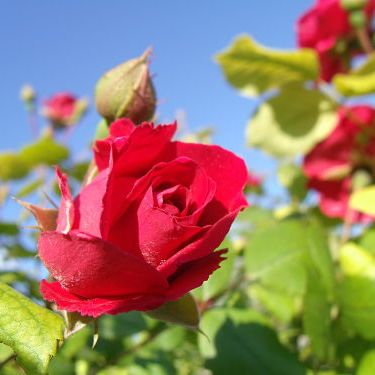 Уход за садовыми розами