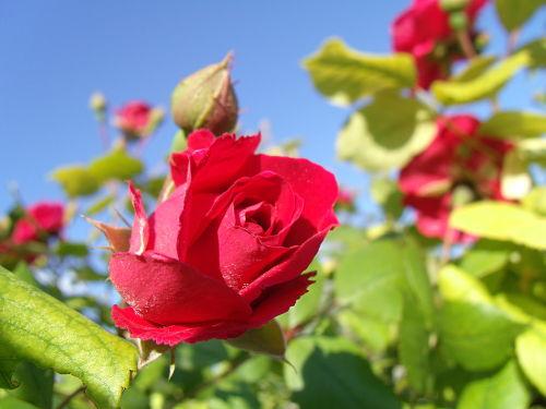 Садовая роза: посадка, подкормки, опрыскивание от болезней