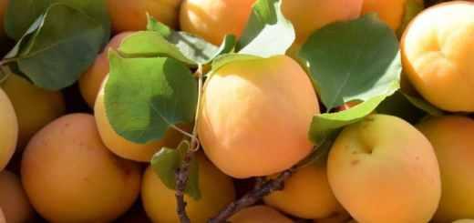 увеличить урожай абрикосов