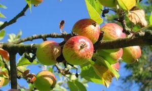 5 причин периодического плодоношения яблони