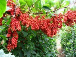 Лимонник китайский: как посадить и ухаживать