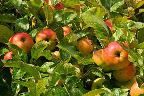5 причин периодического плодоношения яблони и способы решения