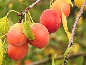 Как выбрать саженец алычи и правильно посадить