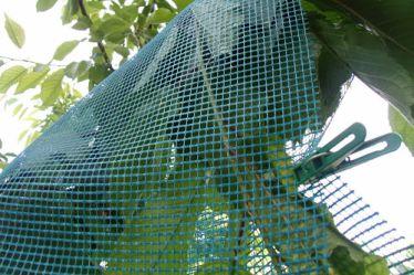 защитить вишню от птиц