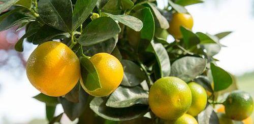 Уход за домашним мандарином