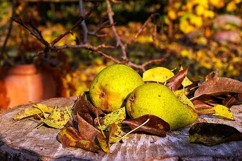 Подкормка яблонь, груш осенью