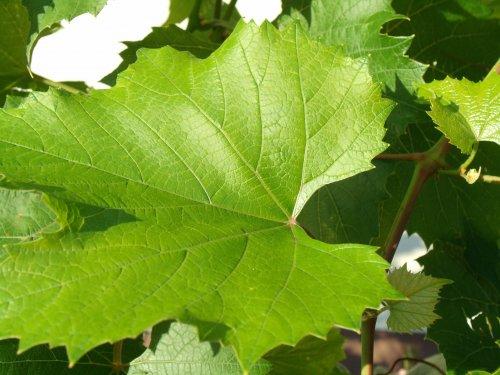 посадка винограда осенью