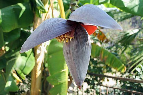 Как вырастить карликовый банан в домашних условиях