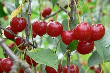 Главные причины опадания завязи вишни
