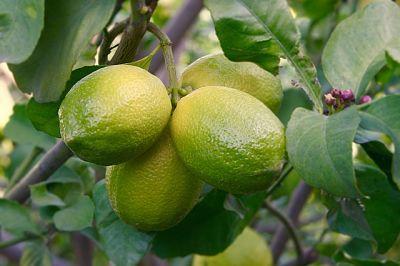 Почему у комнатного лимона желтеют и опадают листья