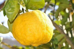 Как посадить и привить комнатный лимон
