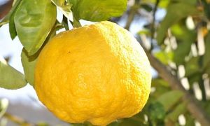 Почему у лимона желтеют и опадают листья