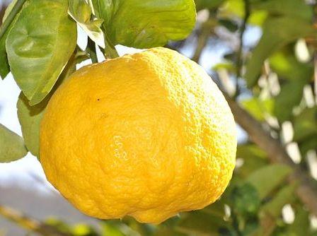 Как подкормить домашний лимон