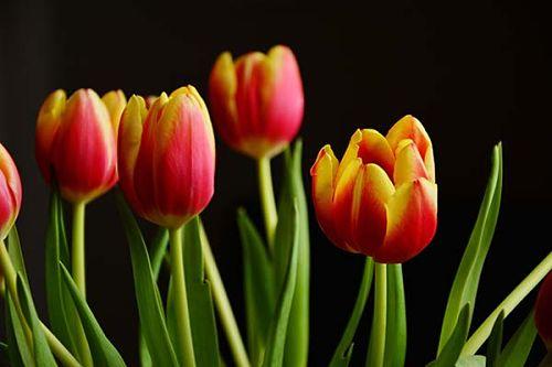 выгонка тюльпанов в домашних условиях