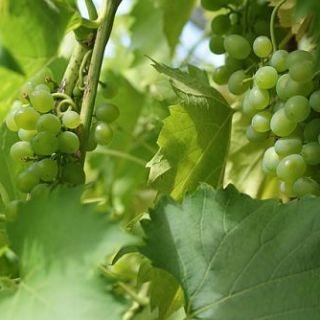 Опрыскивание винограда весной по методу Курдюмова