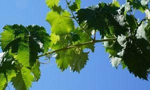 Весенняя подкормка винограда