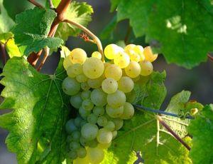 100% способ укоренения винограда