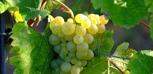 Как укоренить виноград