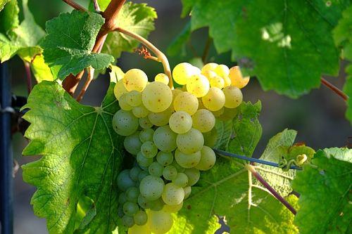 Легкий способ укоренить черенки винограда