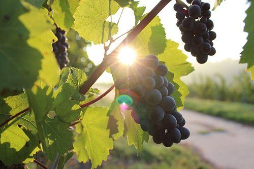 Грунт для укоренения черенков винограда