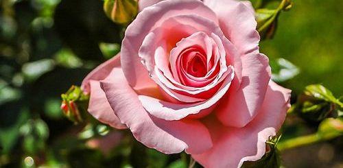 Почему розы не цветут