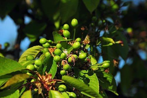 Чем опрыскать деревья после завязывания плодов