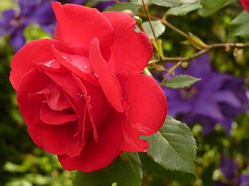 Подкормка роз ранней весной и после цветения
