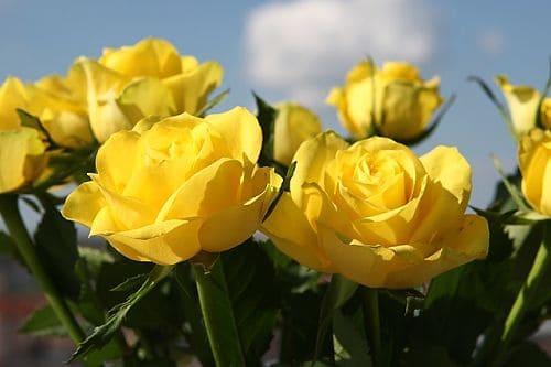Как правильно укоренить черенки роз