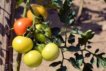 8 способів прискорити дозрівання помідорів
