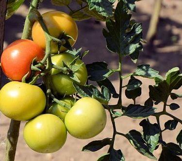 8 способов ускорить дозревание помидоров