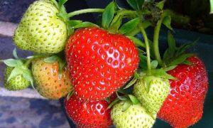 Опрыскивание клубники перекисью и йодом от гниения ягод