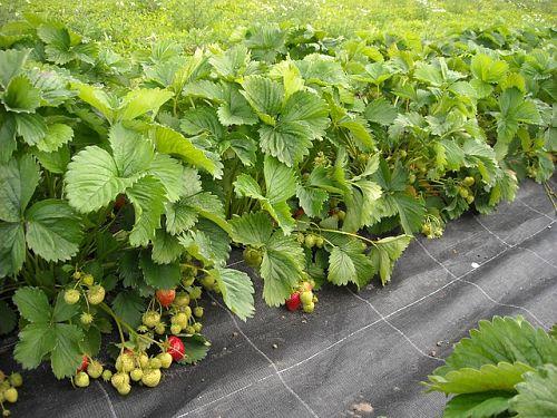 Захист полуниці від гниття