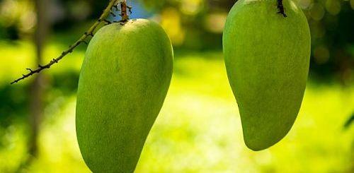 выращиваем манго в квартире правильно