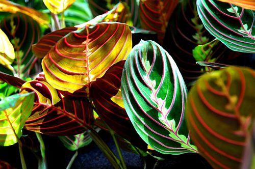 Почему маранта меняет цвет листьев