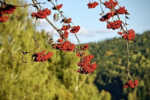 Подкормка рябины весной и осенью