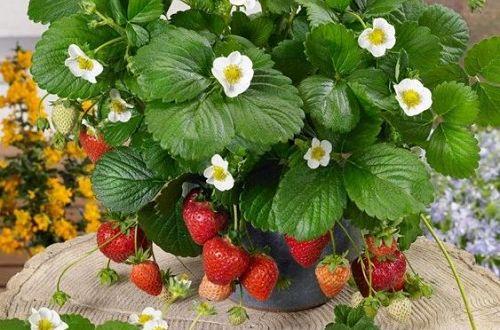 Клубника на балконе - технология выращивания