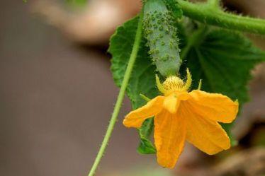 3 лучших подкормки для огурцов во время плодоношения